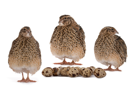 japanese quail: Japanese quail on a white background  A bird that lays the Golden eggs  Stock Photo
