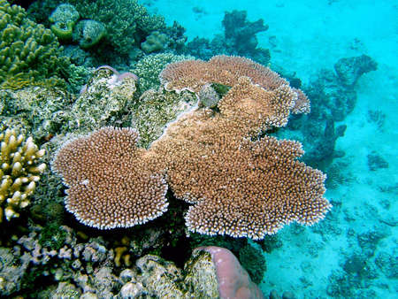 great barrier reef: Great Barrier Reef Coral