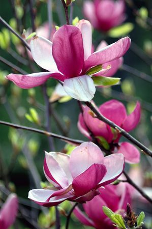 Open magnolia flowers in the spring time photo