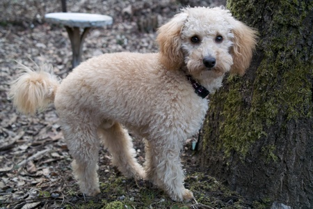 six months: young apricot mini poodle male six months Stock Photo