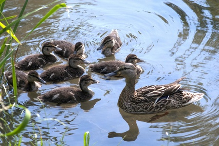 Mallard duck family svimming in the river photo