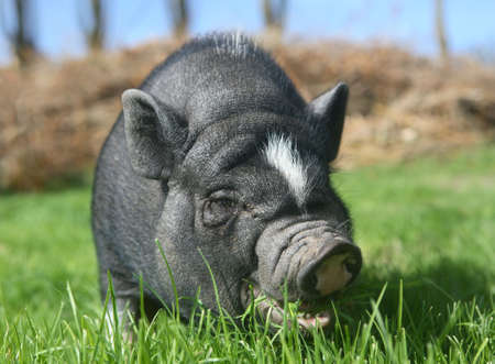 nosey: black pig on a lawn Stock Photo