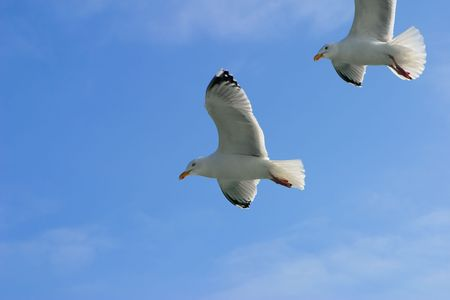 Two seagulls on a background of the sky photo