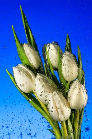 Seven white tulips in water with air vials close up on a blue backgroundr photo