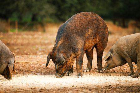 nosey: The brown hog eats