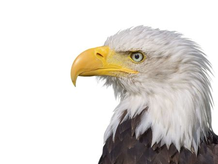 A Bald Eagle on a white background Stock Photo