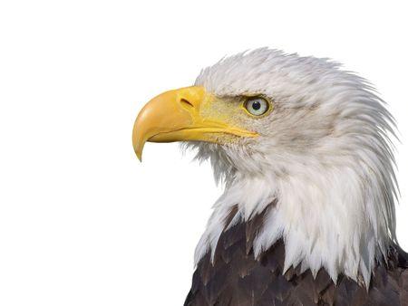 observant: A Bald Eagle on a white background Stock Photo