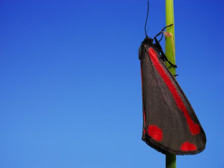 A Cinnabar Moth isolated on a blue sky Stock Photo