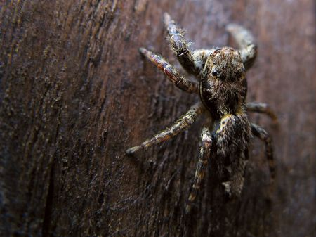 A Jumping spider camouflaged on the background photo