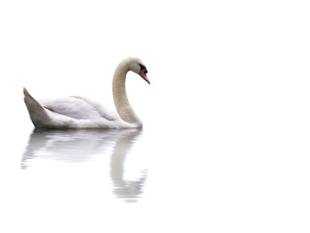 A swan isolated on a white background