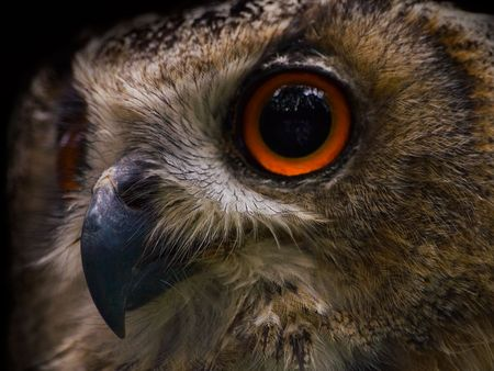 an Eagle Owl looking into the dark