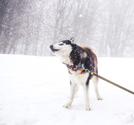 Husky dog walking in winter forest photo