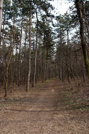 Small path in a forest of pine trees photo