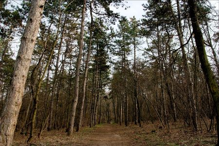Path in the forest between pine trees photo