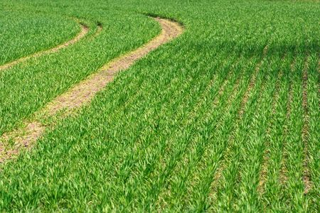 agricultural area: Green wheat field in an agricultural area Stock Photo