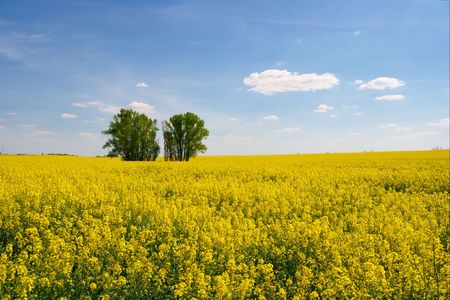 Yellow rape field with trees in the middle Stock Photo - 957728