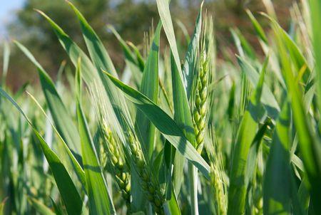 Fresh green wheat plant on a field photo