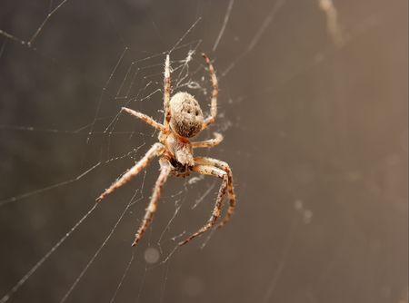 segmentata: Spider waiting in its web Stock Photo