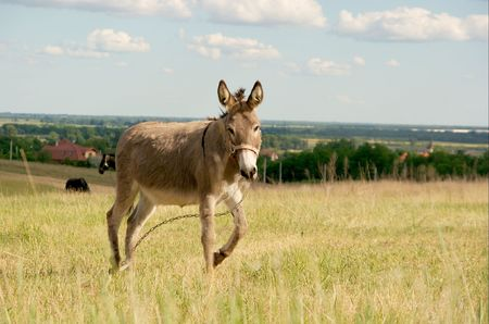 Gray donkey walking on a bright field photo