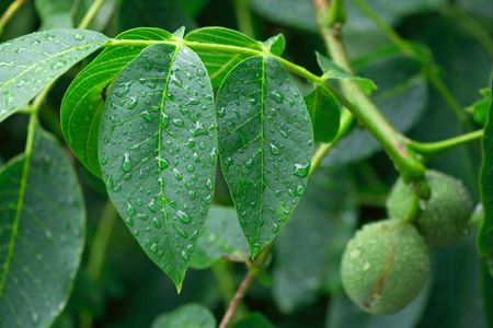 Wet leaves of a tree after rain Stock Photo - 1118397