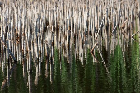 swampland: Swampland with dry reed in the water