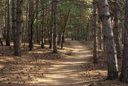 Beautiful pine forest with a footpath through it photo