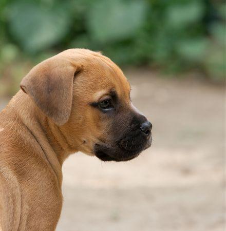 Portrait of a young bull-mastiff puppy photo