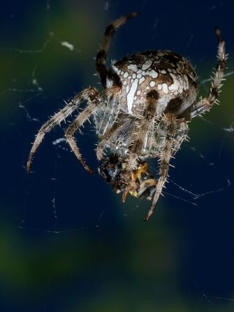 attac: Cross-spider eating the victim caught in the web Stock Photo