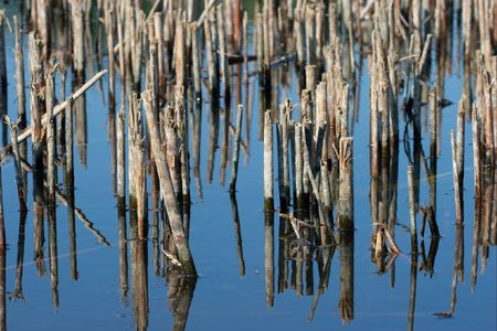 swampy: Reed reflections in a swampy lake Stock Photo