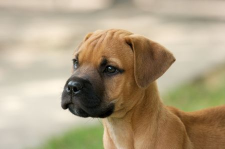 Retrato de joven Toro-Mast�n cachorro  Foto de archivo - 1979212