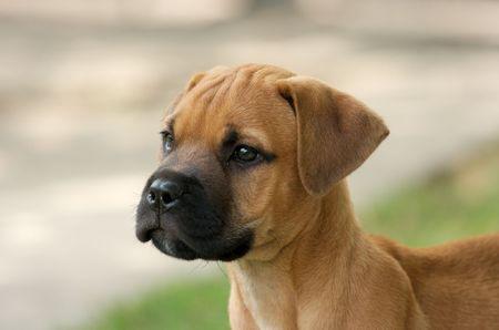 Young bull-mastiff puppy portrait photo