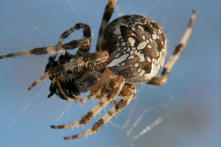 attac: Cross spider in the web eating its victim Stock Photo