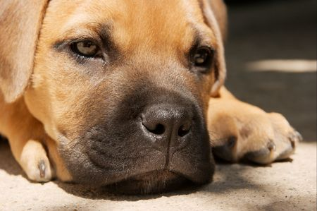 bullmastiff: Portrait of a young bull-mastiff puppy lying on the ground Stock Photo