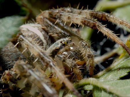 segmentata: Extreme closeup of a cross spider