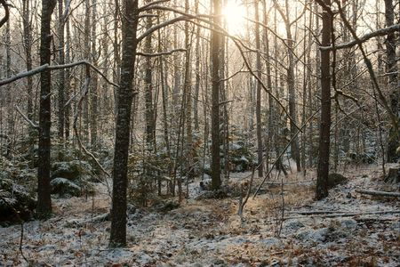 frostbitten: Snowy forest in freezing winter and rays of sun