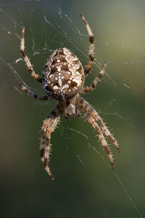 Cross-spider waiting in its web Stock Photo - 2133374