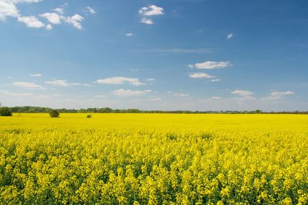Vast field of blooming yellow rape plants photo