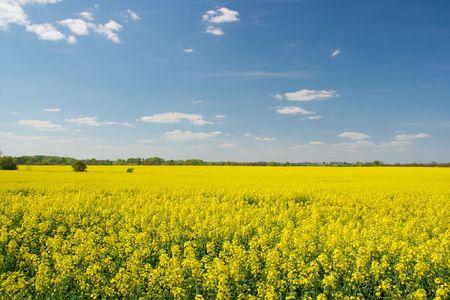 Vast field of blooming yellow rape plants photo