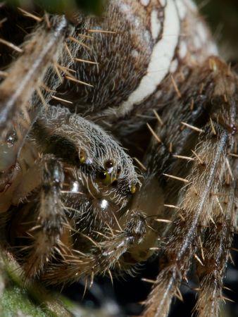 segmentata: Cross spider extreme closeuo Stock Photo