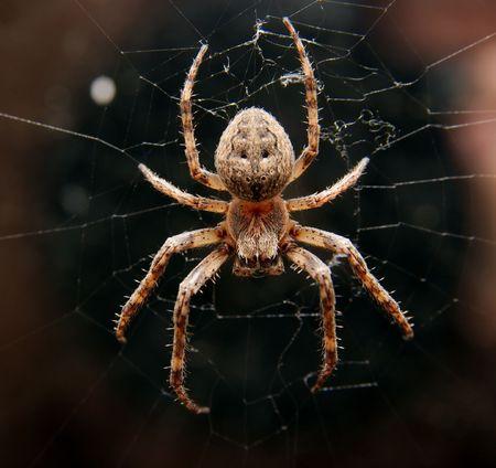 segmentata: Closeup of a cross spider in its web Stock Photo