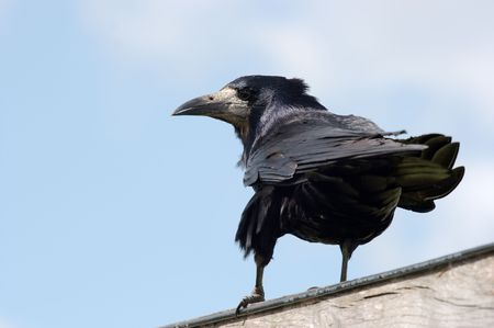 Black crow on a fence Stock Photo - 3065146