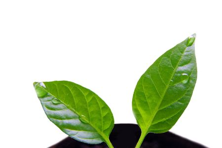 emerging economy: Small green plant isolated on white Stock Photo