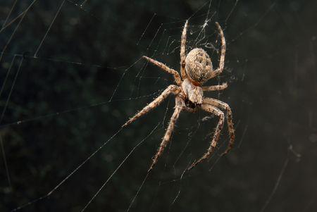 segmentata: Cross spider in its web