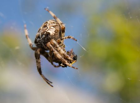 Cross spider eating its victim