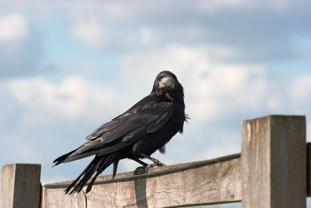 corax: Black crow on a wooden fence Stock Photo