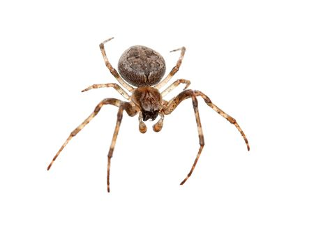 Cross spider isolated on white background Stock Photo - 3603291