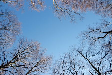 treetops: Bare treetops in winter against blue sky Stock Photo