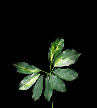 vegatation: Plant with seven leaves isolated on black