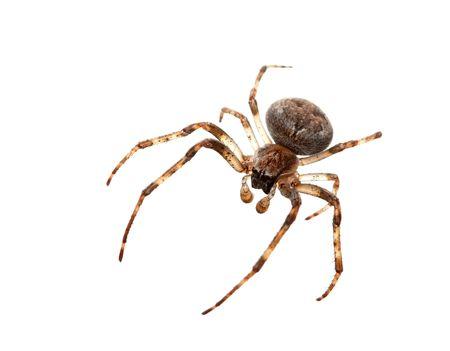 segmentata: Cross spider isolated on white background