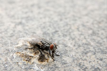 droppings: Nasty fly eating on bird droppings Stock Photo
